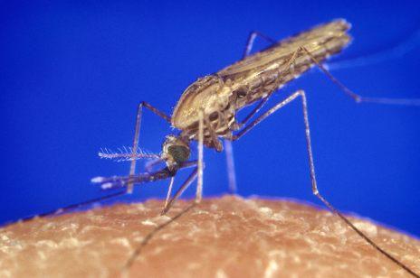 Anopheles gambiae mosquito - Wikimedia Commons