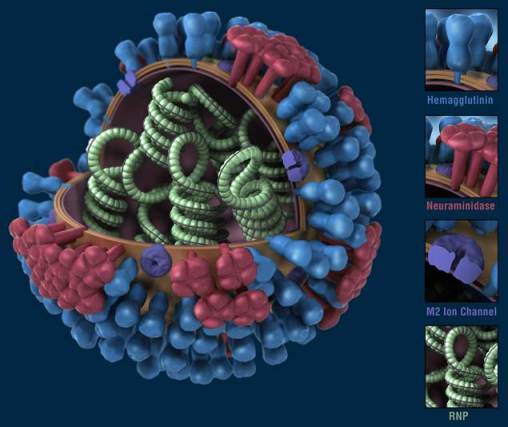 H1N1 graphical representation - CDC-Optimized