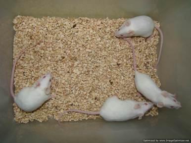 Mice3. Photo Sathees Raghavan-Optimized