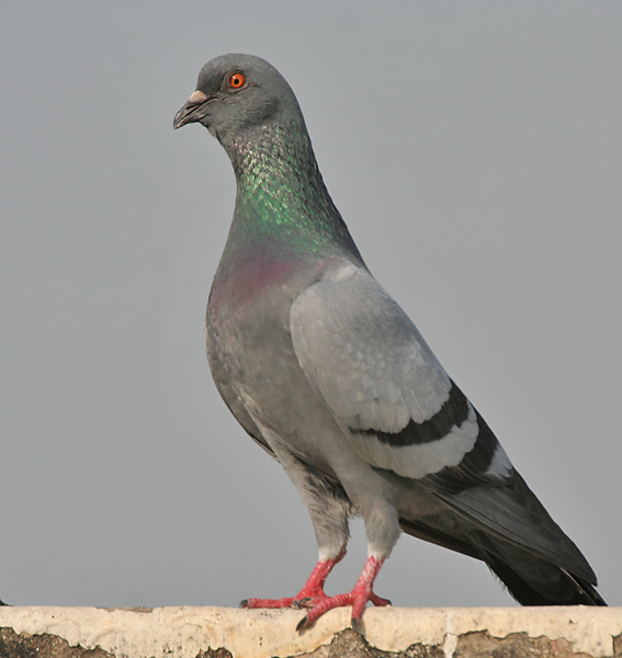 Pigeon - Wikimedia Commons
