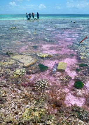 Experimental seawater flowing over the reef flat study site. A pink dye tracer was used to track the movement of seawater. — Photo Rebecca Albright-Optimized