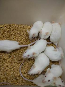 Group of infected mice (lethargic, dull mice)-Optimized