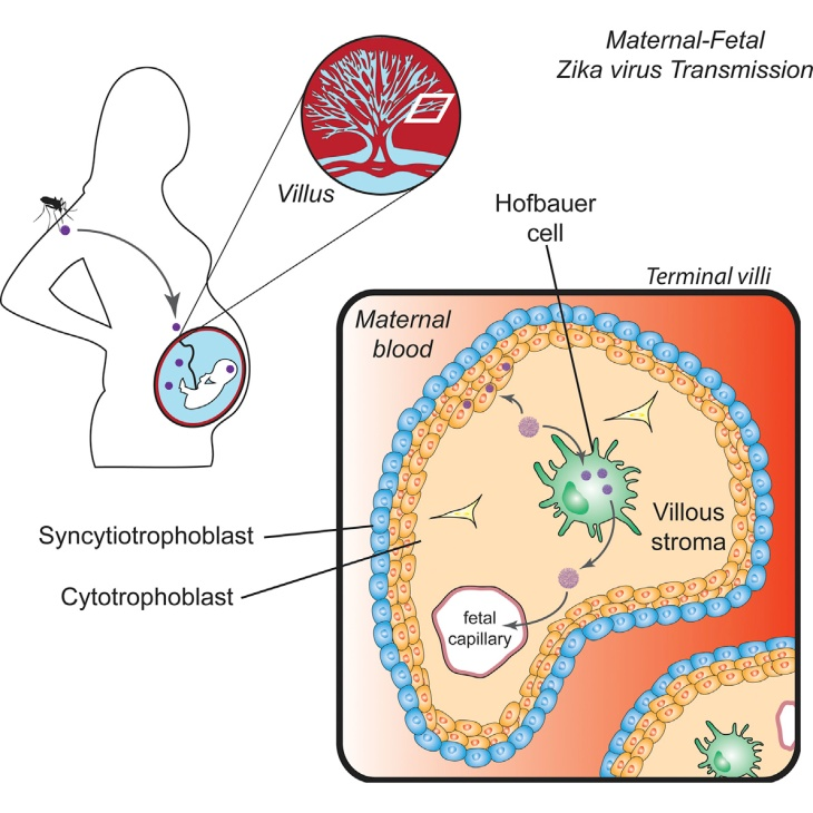 Hofbauer cells