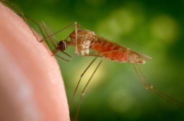 anopheles-gambiae-mosquito-james-gathany-cdc