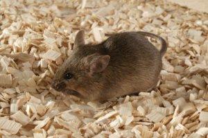 AG129_mouse