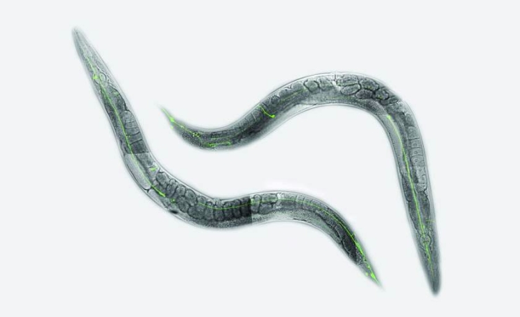 C. elegans-Optimized