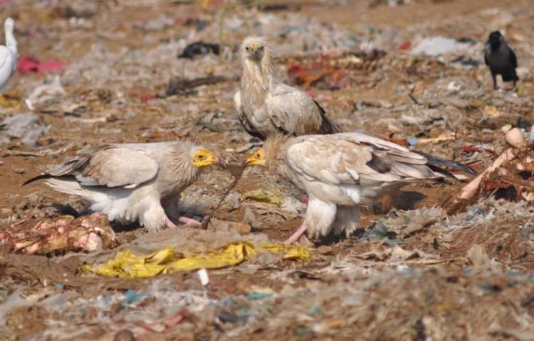 Vulture1 - Pradeep Sharma (2)-Optimized