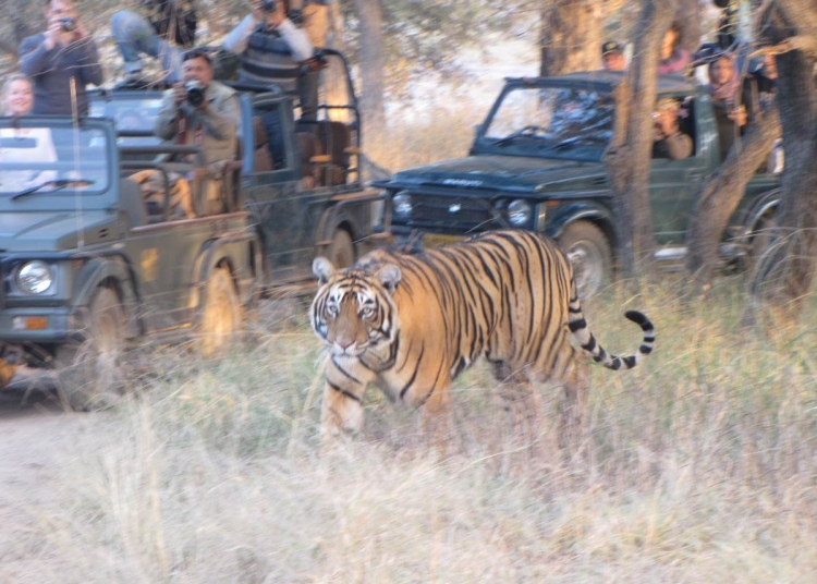 sariska tiger and tourist vehicle 2-Optimized